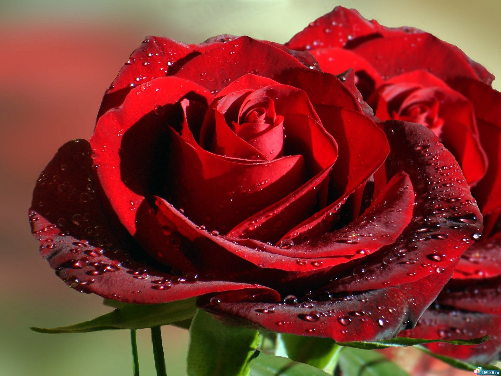 Big Red Roses Wallpaper 1600x1200 px