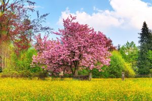 Cherry Tree Hdtv 1080p